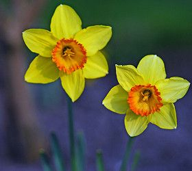 Plant bulbs now for a splash of spring colour